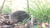 europaeus : hedgehog in the wild in the grass