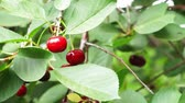 fruit growing : ripe red cherry on a tree close-up Stock Footage