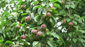biologisch : ripe pear on the tree and agriculture crop Stockvideo