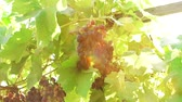 포도 수확 : black grapes on a branch of the vineyard