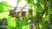 vinice : grape growing vineyard for wine