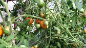 colheita : tomatoes growing organic vegetables green and red