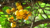 colheita : Ripe apricots close up on a tree branch