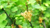 witamina c : White currant on the branches of a Bush close-up. White berries on natural green background Wideo