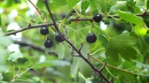 ribes : Golden currant berries close-up, on the branches of a shrub. Growing organic berries