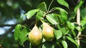 ripe pears on a tree branch on a bright Sunny day. organic fruit in the garden