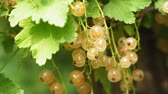white currant on the branches of a shrub. growing berries in the garden.