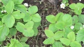 Woodland strawberry Fragaria vesca at the time of flowering. Strawberry plant with white flowers. Stok Video