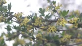 flowering of black silver currant on the branches of a shrub Stok Video