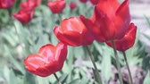тюльпаны : red tulip buds in a sunny summer day. Beautiful tulips flowers in the garden Стоковые видеозаписи