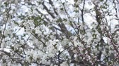 flowering cherry tree, a branch with small white inflorescences in early spring