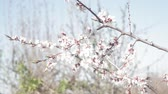 blooming apricot tree, branch with small white blossoms in early spring Stok Video