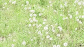 green field of dandelions in summer. summer landscape beautiful flowers grass in the field. selective focus, background blur