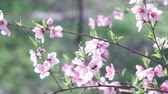 blooming peach tree, branch with small white blossoms in early spring