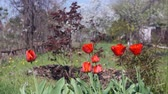 тюльпаны : time lapse red tulips in spring. against the background of a spring garden. flowering of beautiful flowers, bees and other beetles pollinate plants