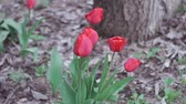 тюльпаны : red tulips close-up in spring. Natural flower beauty concept. Close up