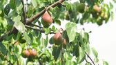 körte : harvest of ripe pears on a tree in the garden. organic fruit growing