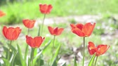 тюльпаны : red Tulip flower in spring on a natural green background. blooming flowers