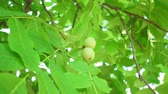 сельское хозяйство : walnut tree, fresh green walnut, walnut on tree. tree nut farming Стоковые видеозаписи