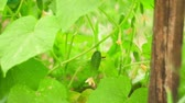 jardinier : cucumbers grown in open field in close-up. garden business. blooming cucumber. environmentally clean.
