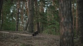 晴れた : Dog walk in the pine forest.A young attractive couple walking through the forest with their happy dog.Black Shiba Inu dog in a city park.