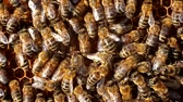 peculiar : Bees always work. Currently they process nectar into honey. Individual bees peculiar movements (dancing) show where there are plants with nectar