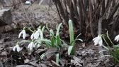 kar taneciği : Snowdrops bend in the wind. Video made in low ambient light. Gusts tilted flowers.