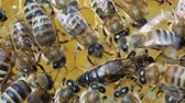 uniqueness : Queen bee lays eggs in the cell. Stock Footage