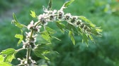 dearest : Motherwort (Leonurus cardiac) - a good honey plant and herb. Stock Footage