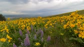 lupine : Time lapse of clouds over yellow Balsamroot and Lupine wildflowers in Columbia Hill State Park with snow covered Mt. Hood Spring Washington State 4k Stock Footage