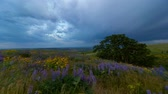 lupine : Ultra high definition 4k time lapse movie of moving clouds blue sky with yellow broad leaf balsamroot and purple lupine wildflowers in Columbia Hills State Park in Washington on a windy day spring season 4096x2304 Stock Footage