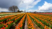 lamacento : Time lapse movie of moving clouds and sky over colorful blooming tulips in Wooden Shoe Festival in Woodburn Oregon during Spring Season 4k ultra high definition 4096x2304 uhd