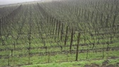 poste : Vineyard in the winter, camera moves to the right along the vines. fog in the background.