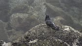 мухи : A pigeon looking around on a rock next to ocean water, eventually flying off out of frame