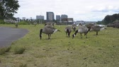 Canada Geese eating grass alongside a park trail running by the Willamette river in Portland, Oregon. The Portland skyline is in the background.