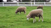 Sheep grazing and walking on grass in fenced off farm area
