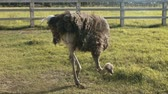 que vale a pena : Home ostrich farm in summer