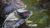 amphibious : Brazil turtle in a pond,xian,china