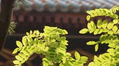 Branch with the green leafs in the late afternoon Stock Footage