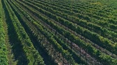 hillside : Kutjevo vineyards aerial