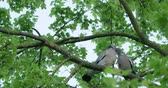 turtledove : Turtledoves kissing on the tree