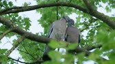 migrating : Turtledoves kissing on the tree