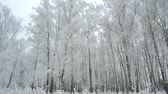 береза : winter forest covered with hoarfrost and snow on a frosty cloudy day Стоковые видеозаписи
