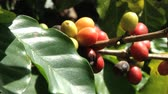 coffee growing : Red Arabica coffee beans at the plantation in Jarabacoa in Dominican Republic.