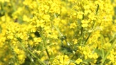 blossom : Yellow rape oilseed flowers in the field in spring.