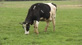 nabiał : holstein dairy cow grazing on a green pasture
