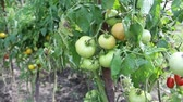 underripe : Unripe tomatoes in hothouse