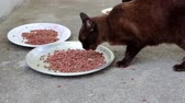 cattish : Black hungry cat eats pet food