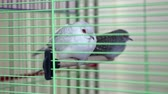 turtledove : Diamond Turtledove birds in green cage Stock Footage