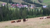 palouk : Cows on the grassland in Carpathian Mountains